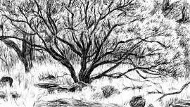 capay_valley_manzinta_tree